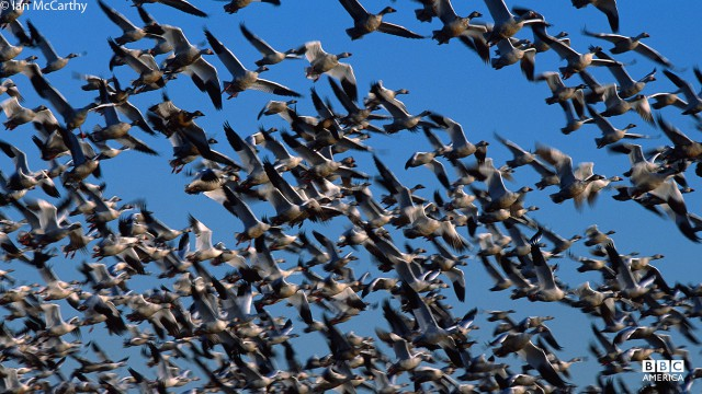 A flock of snow geese in flight.