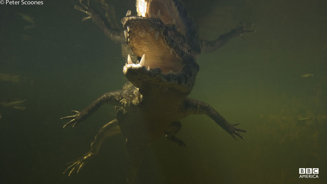 A spectacled caiman swims in the Pantanal wetlands in Brazil.
