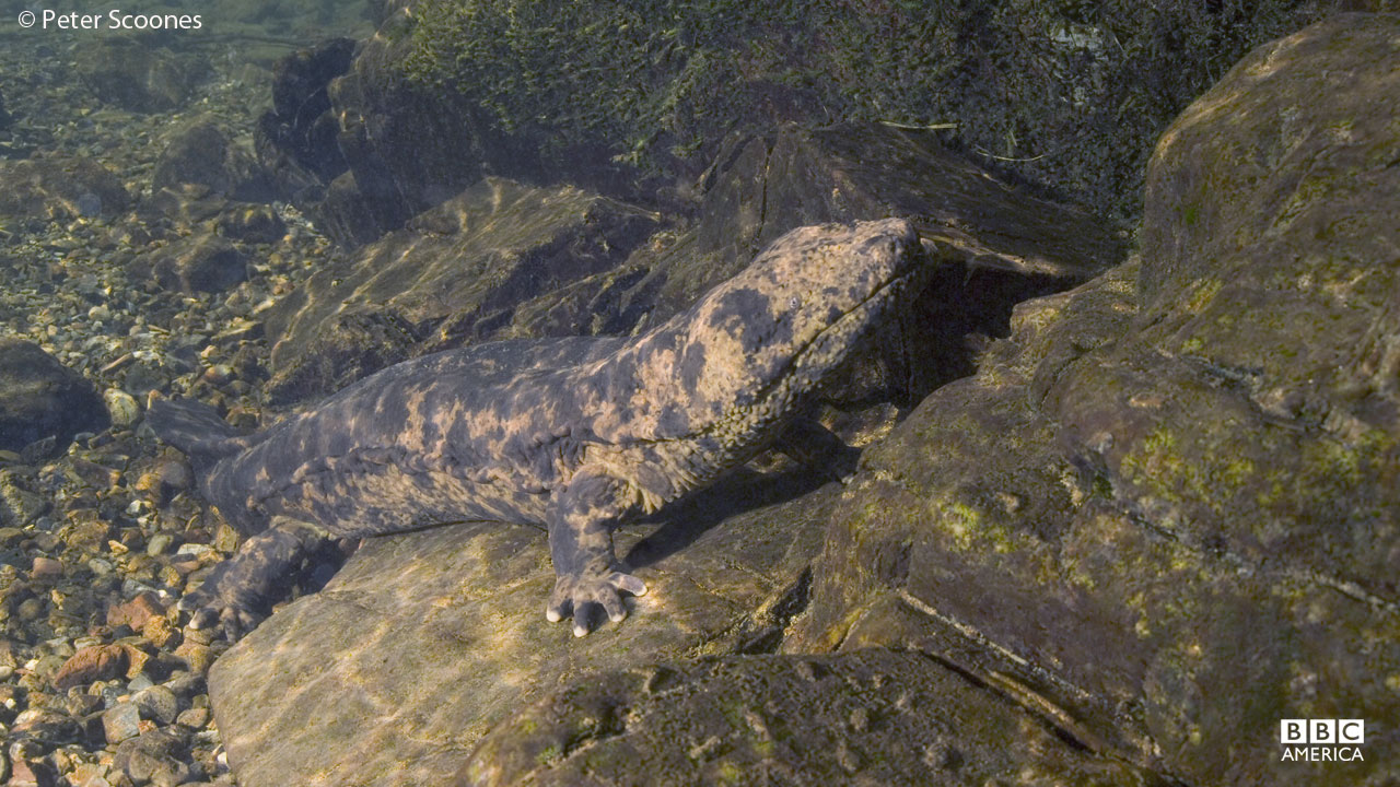 The giant salamander lives in remote mountain rivers in Japan.
