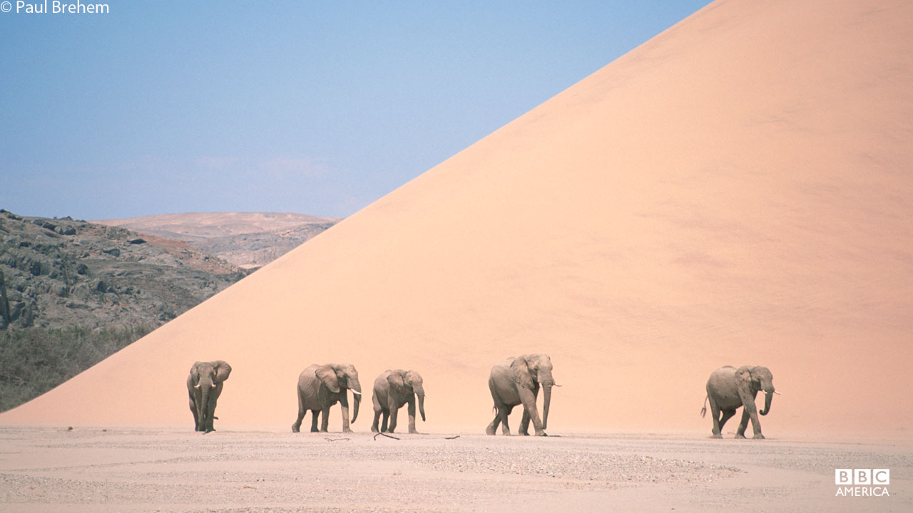 Elephants trek across the Namibian desert.