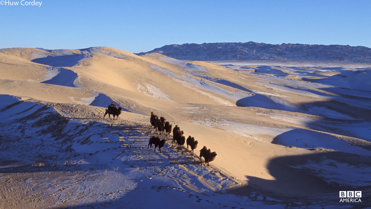 Wild Bactrian camels in the Gobi desert survive by eating snow.