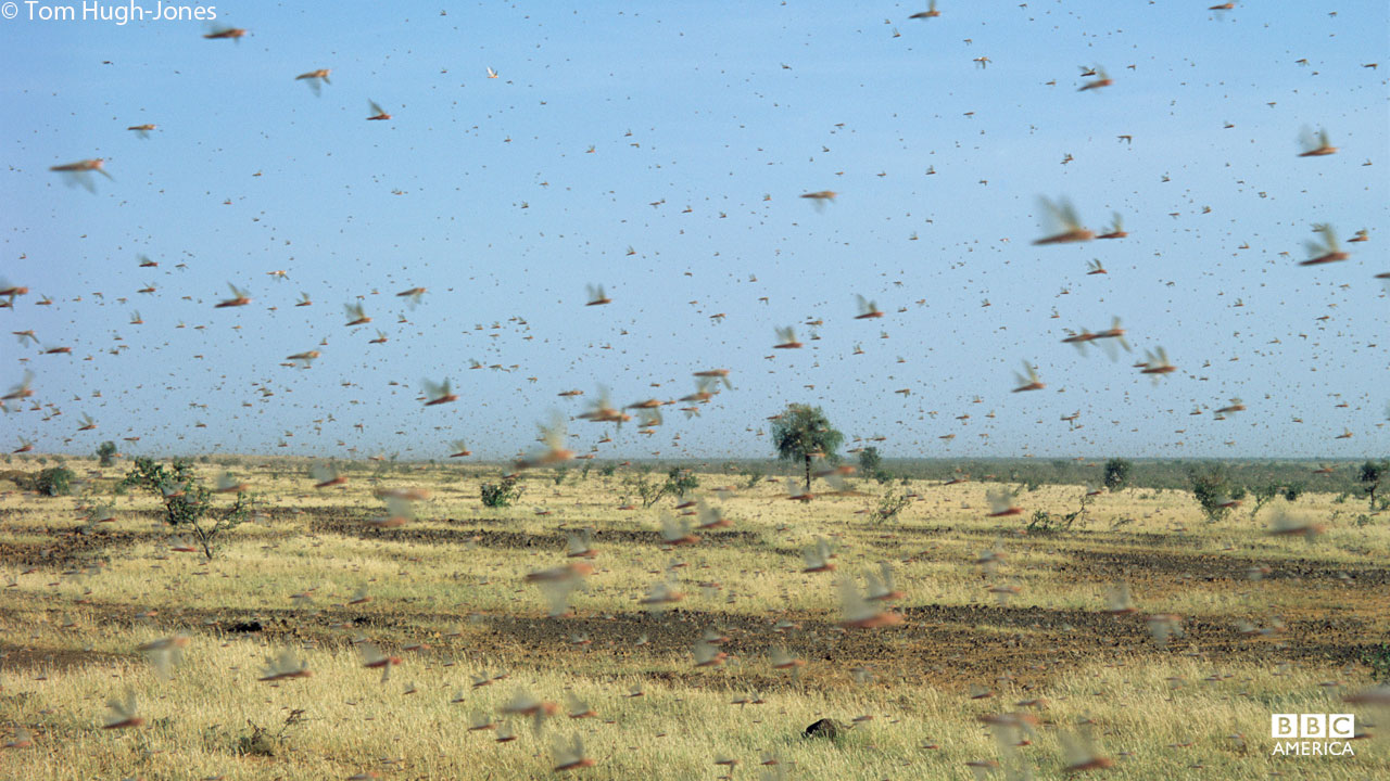 A swarm of locusts.