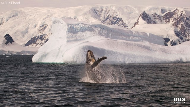 Humpback whale breaching the water in Antarctica.