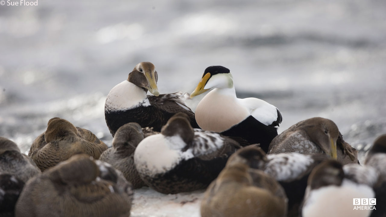 Male eider duck with other eiders.