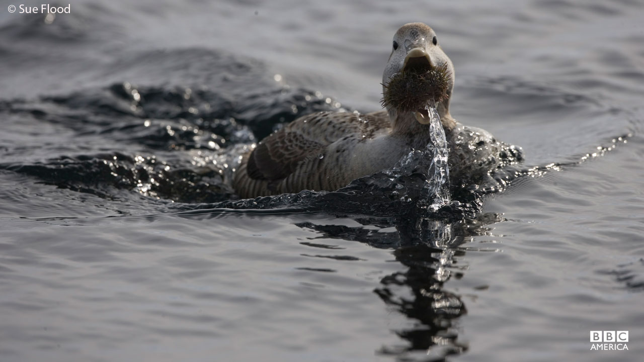 Female eider duck eats urchin, Hudson Bay, Canada.