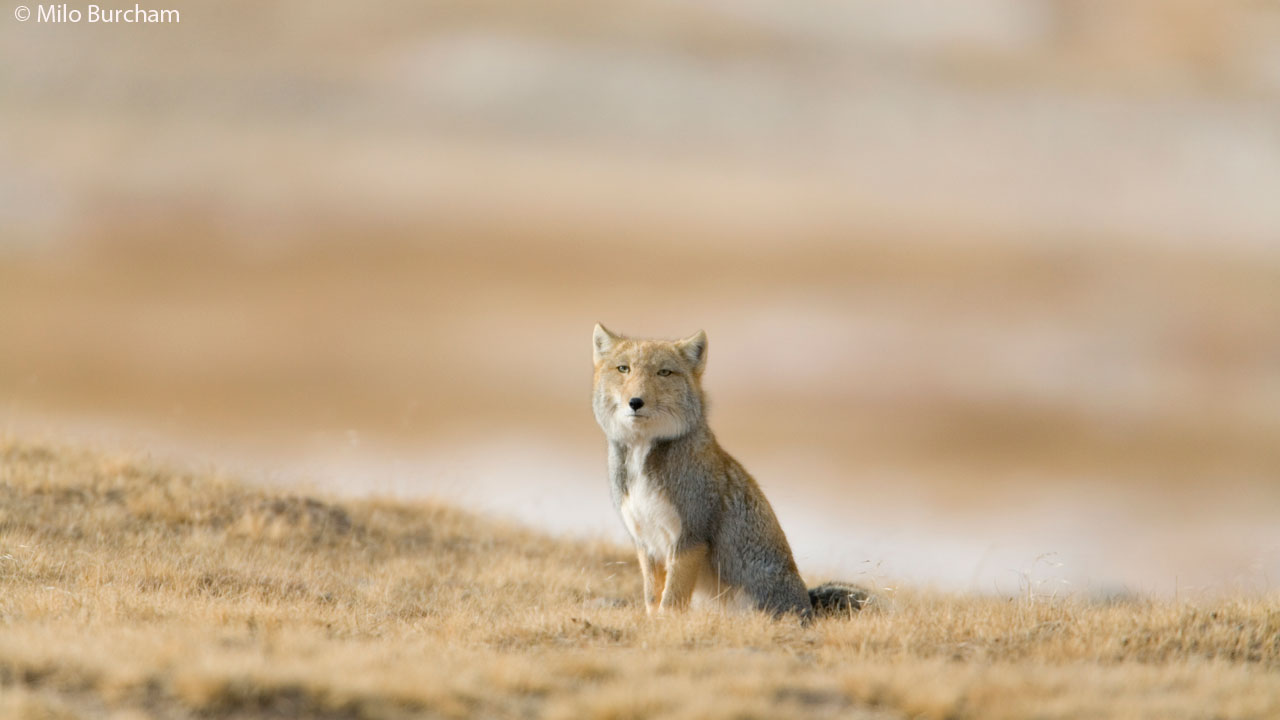 A Tibetan fox sits on the Tibetan plateau, the highest grasslands in the world.