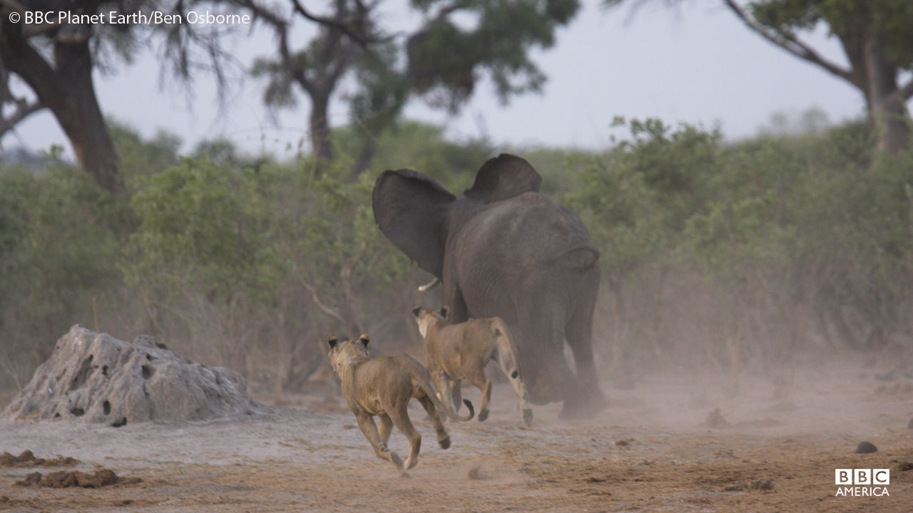 Lions hunting an African elephant in Savute National Park, Botswana.