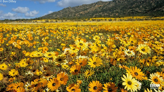 Namaqualand flowers in South Africa.