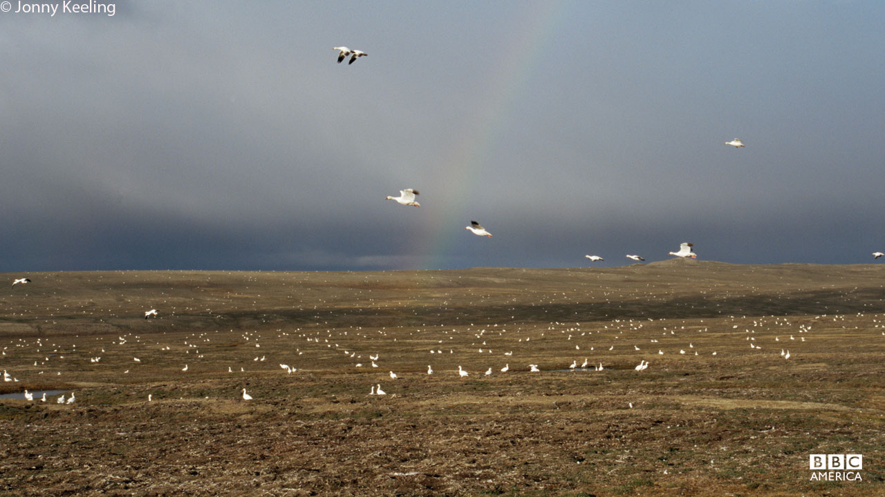 Snow geese flying over tundra in Banks Island, Canadian Arctic.
