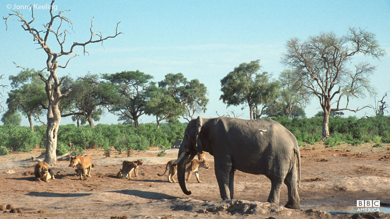 Elephants and lions at waterhole in Africa.