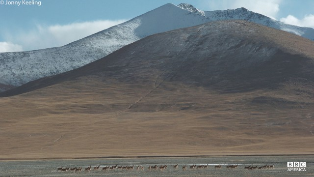 Kiang, Tibetan wild ass, roam the plains in north west India.