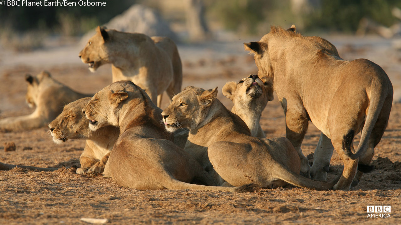 A lion pack in Botswana.