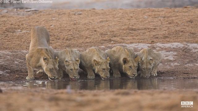 Lions drink at watering hole in Botswana.