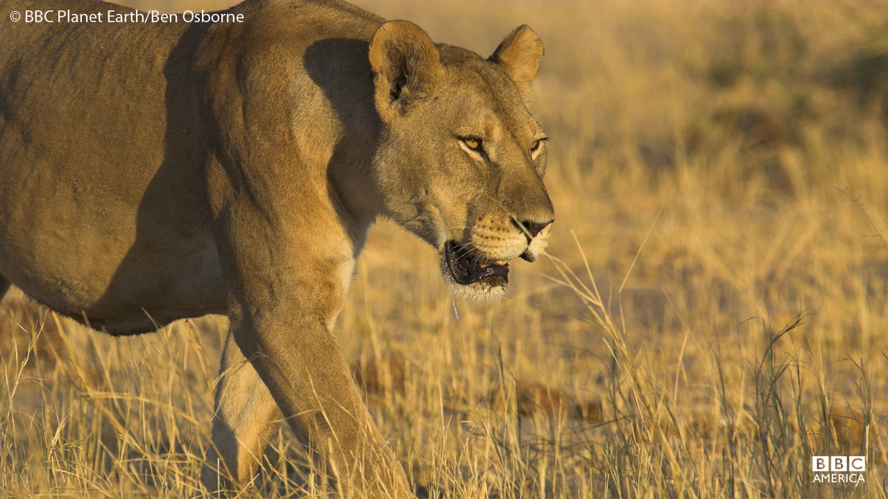 A lion hunts in Botswana.