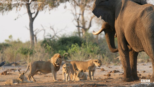 Lions and an elephant at a watering hole in Botswana.