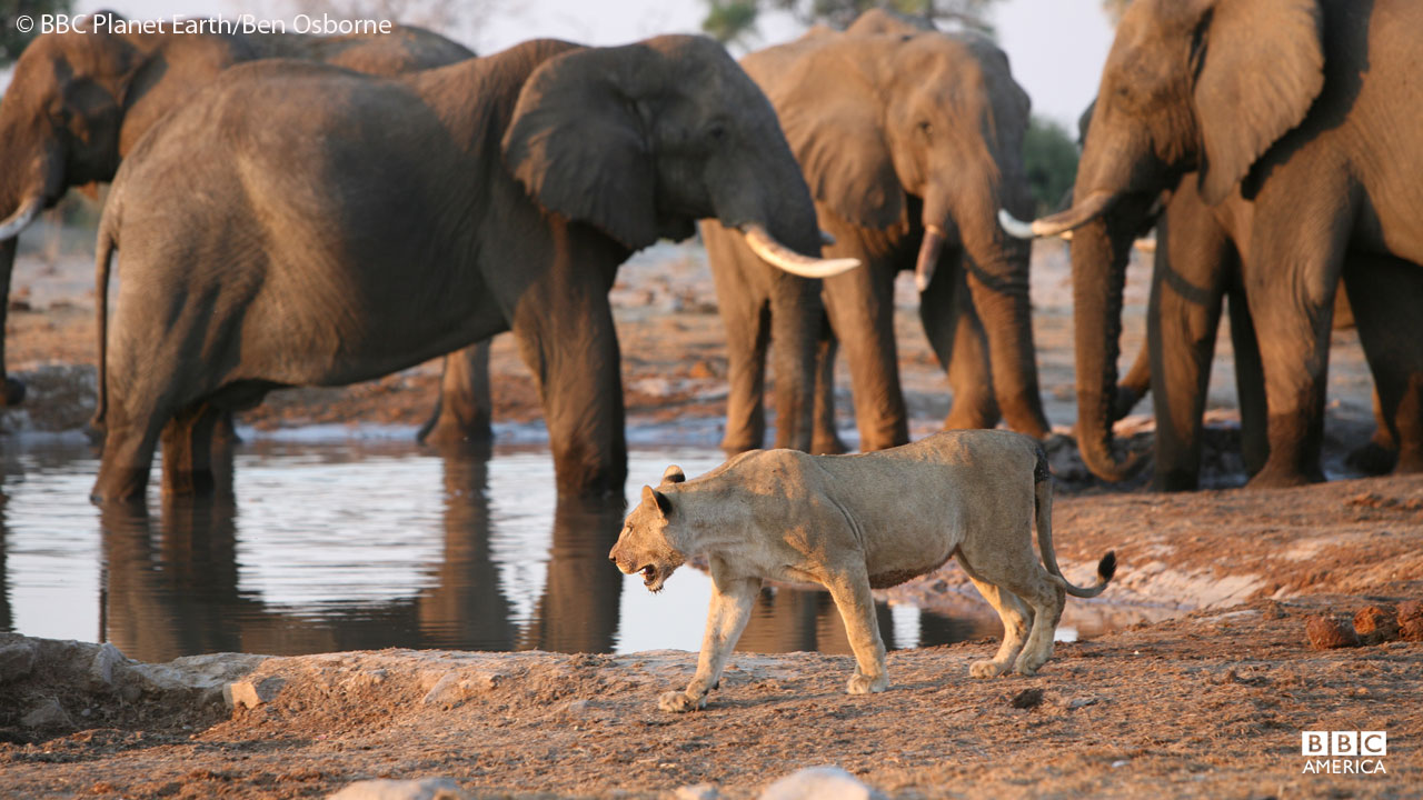 Lions and elephants at watering hole in Botswana.