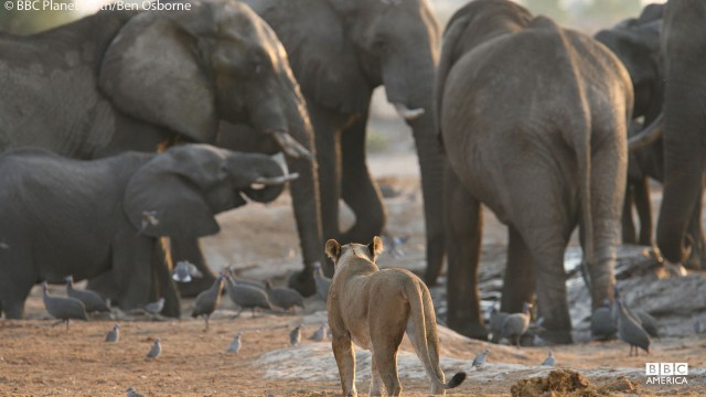 Lions and elephants at a watering hole in Botswana.