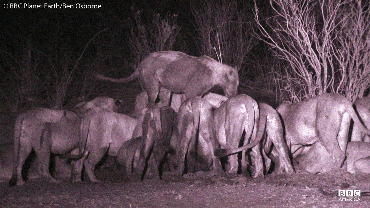 Lions at night in Botswana.
