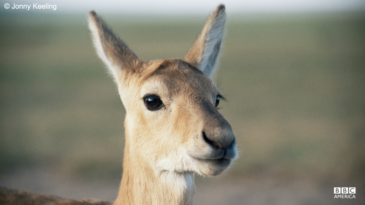 A Mongolian gazelle.