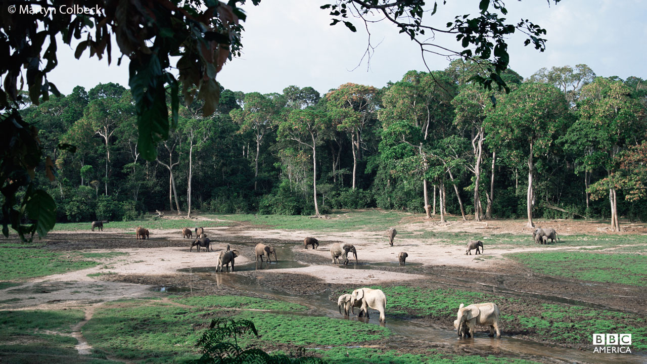 Elephants in rainforest opening, Central Republic of Africa, Congo.