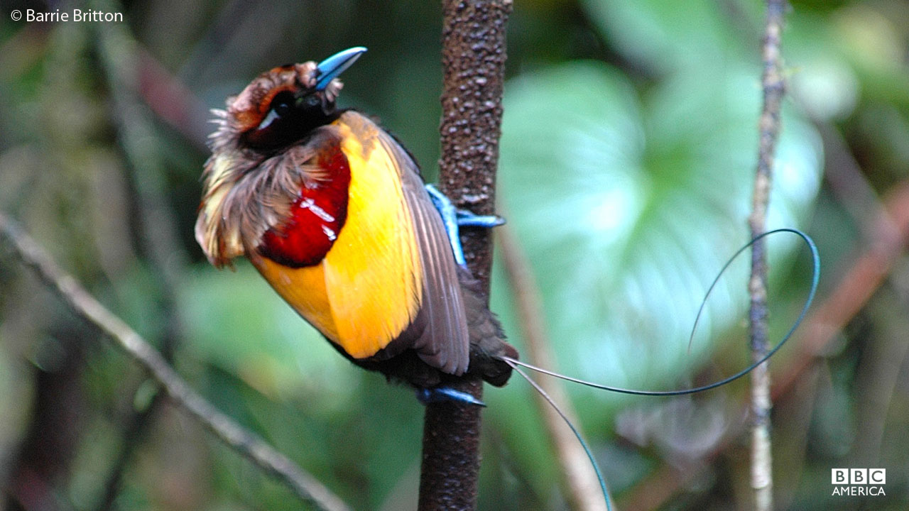 Male Magnificent Bird of Paradise perches in tree in Papua New Guinea.