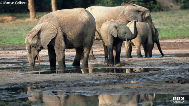 Elephant pack in Central Republic of Africa, Congo.
