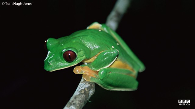 A flying frog sits on a tree limb.