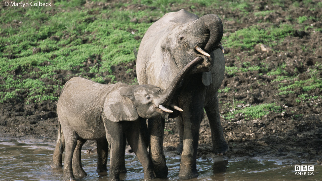 Elephants drinking water in Central Republic of Africa, Congo.