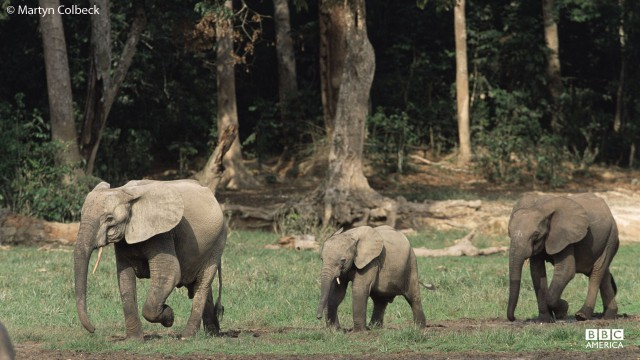 Elephants in jungle opening in Central Republic of Africa, Congo.