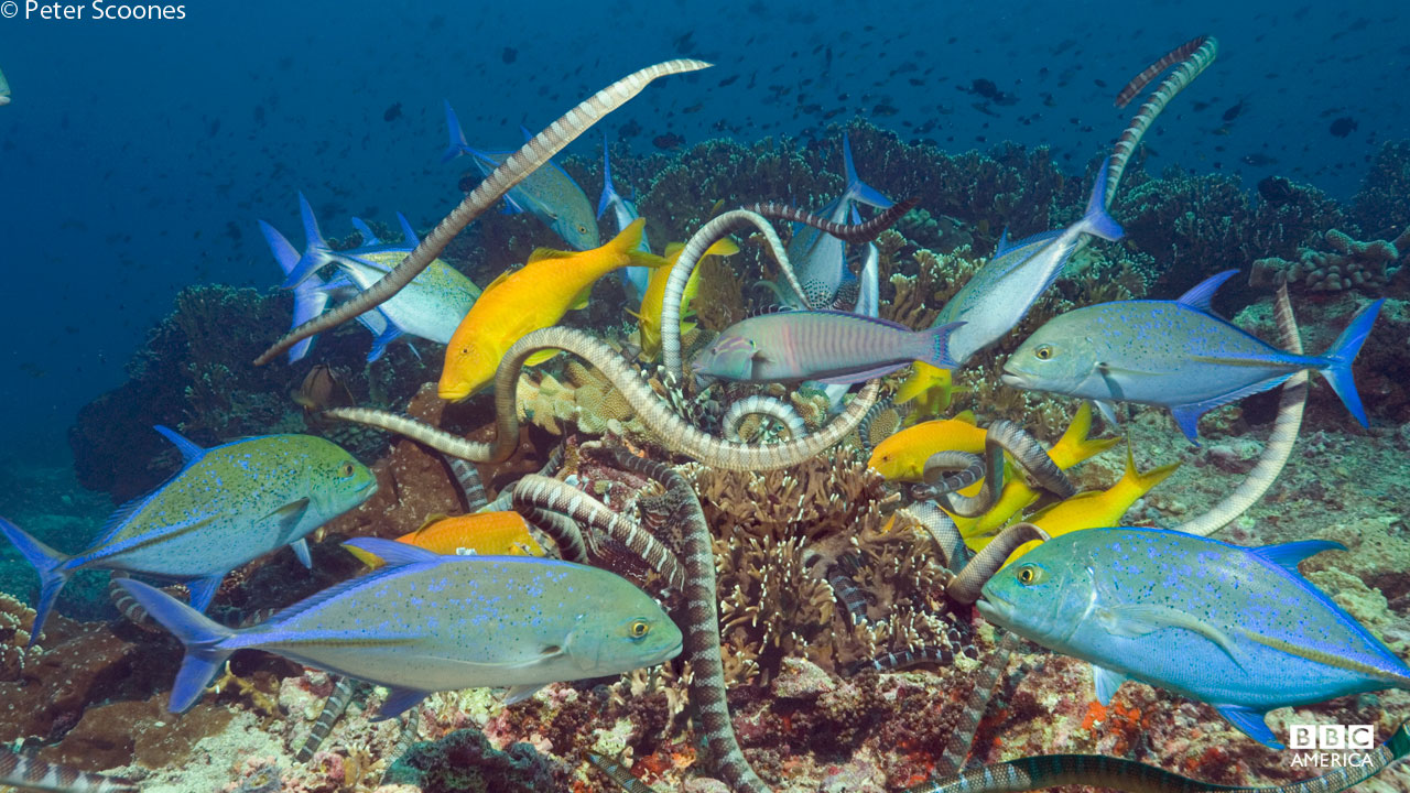 Hunting party of kraits showing co-operative feeding with goatfish and trevally, Banda Sea, Indonesia.