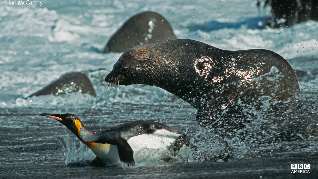 A male fur seal hunts King penguin off the coast of a sub-Antarctic island.