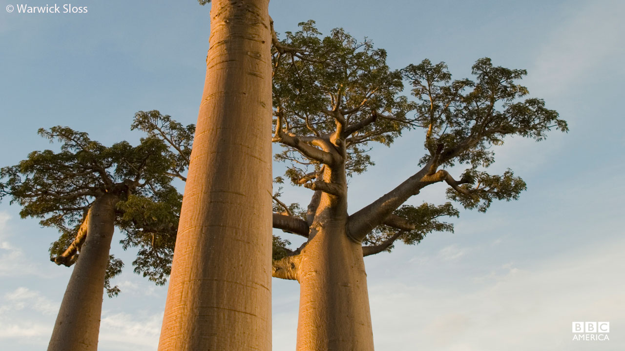 The Baobab trees in Madagascar store water in their trunks.