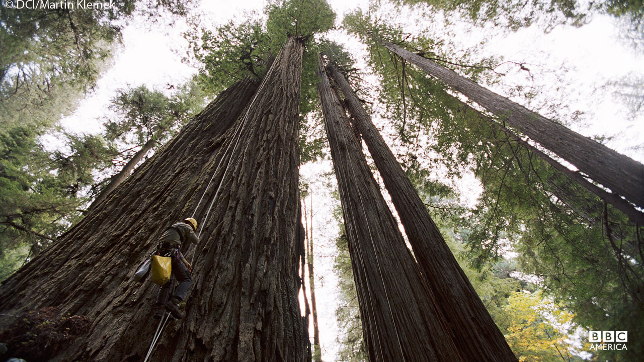 Giant Californian redwood trees are the tallest trees on Earth.