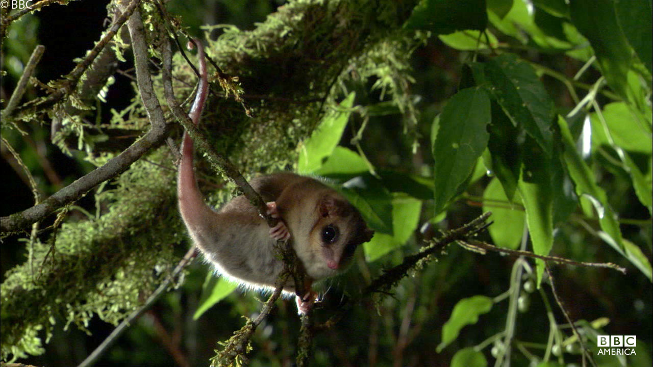 An aboreal monito del monte in Peru.