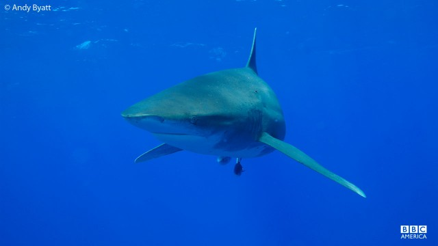 An cceanic whitetip shark searches for food.