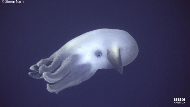 "The deep-sea ""Dumbo"" octopus swims off the coast of Acapulco, Mexico."