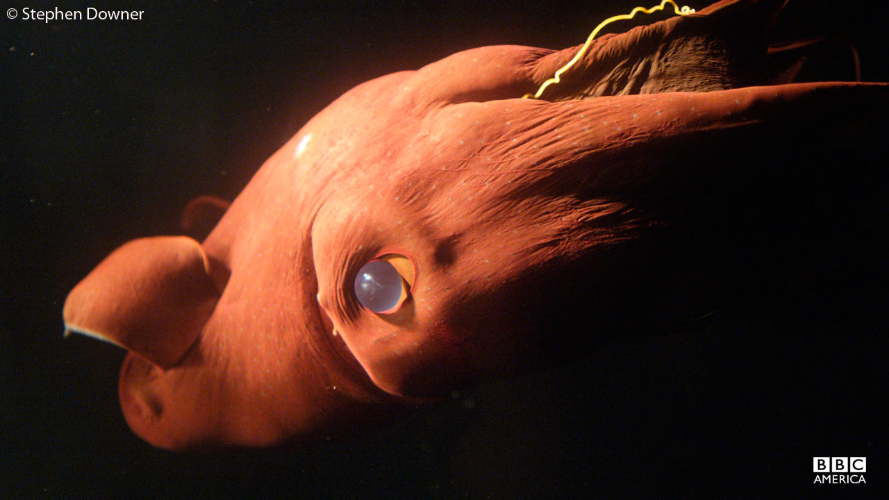 The vampire squid lives deep in the ocean.