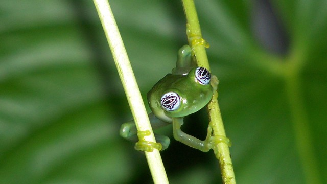 Green Boned Glass Frog, Rura Avis, Costa Rica - Michael Y.