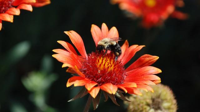 Bumblebee - Jessica R.