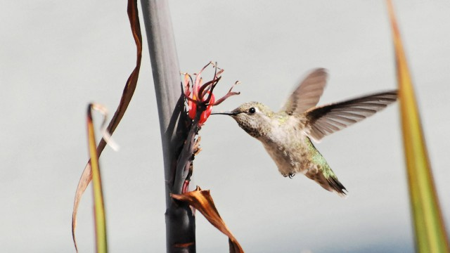 Hummingbird and Phormium, San Jose, CA - Andrew O.