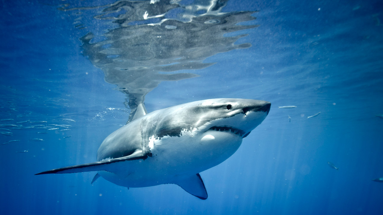 Great White Shark - James C.