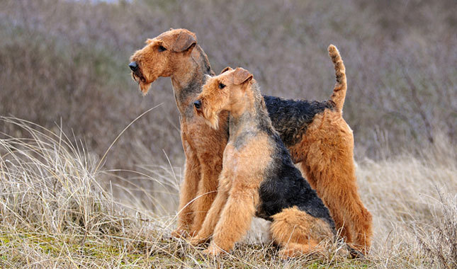 10 Most British Dog Breeds  Anglophenia  BBC America