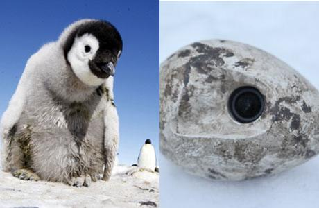 A baby penguin unknowingly peeking into a spy cam like this one hidden in a rock. (BBC)