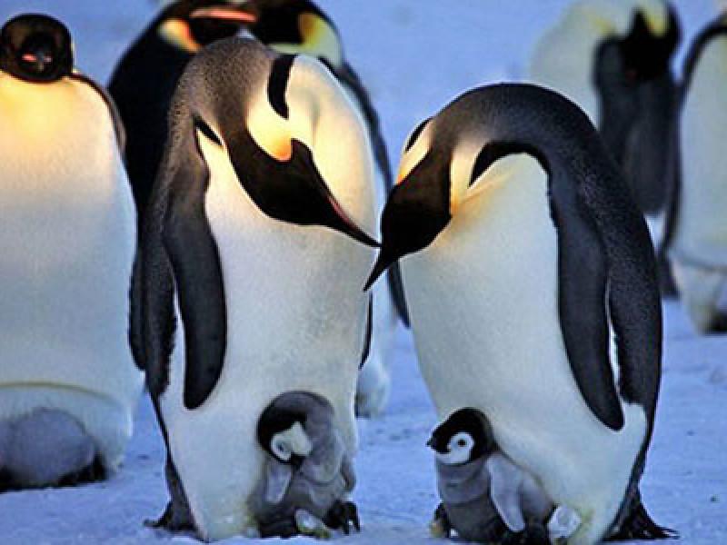 Penguins, Feature
