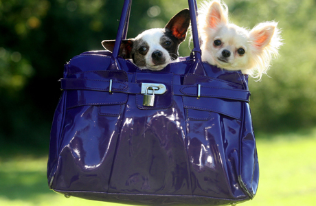 "The ""pups in purses"" scourge started in Hollywood and became a worldwide epidemic. Thanks America! (Photo: Solent News / Rex Features)"