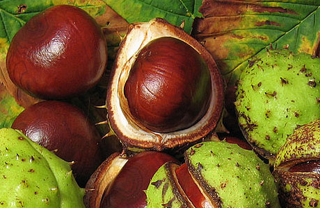Conkers, in the wild