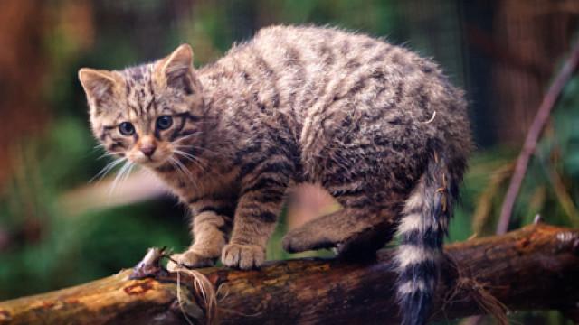 Highland Kitten, II