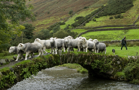 Bridges aren't just for people. Domestic Sheep (Ovis aries), Herdwick flock, being herded by shepherd over old packhorse bridge, Wasdale, Lake District, Cumbria, England. (AP/Minden Pictures)