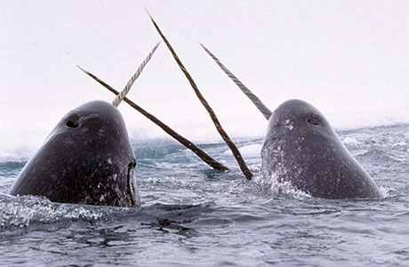 Four narwhals plotting to write 'expelliamus' on a seal's face.
