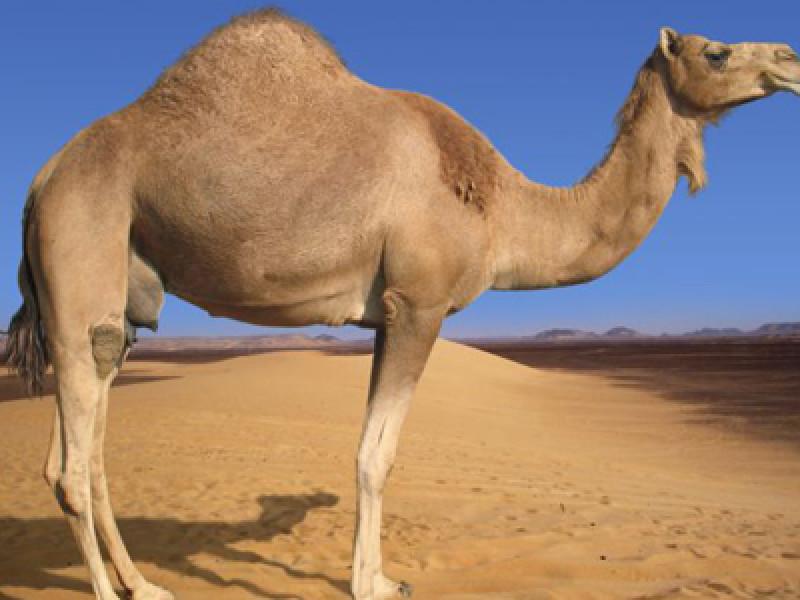460x300_camel